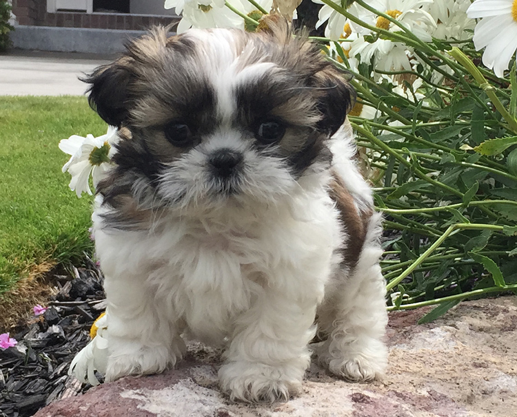 Kooskie Kennels Shih Tzu Puppy For Sale Shih Tzu Breeder